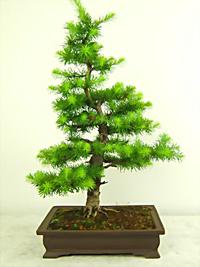 The Larch As A Bonsai Tree East Bay Bonsai Society