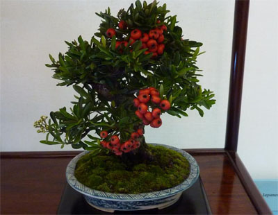 file 15 cotoneaster 400x310