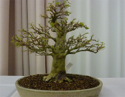 file 16 trident maple 400x310
