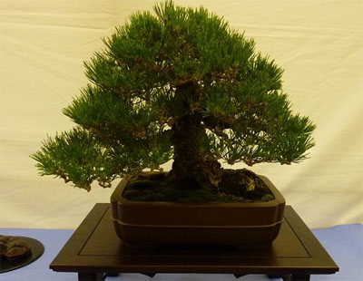 file 18 black pine 400x310