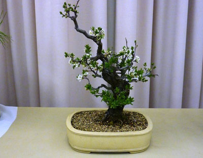 file 33 flowering plum 400x310